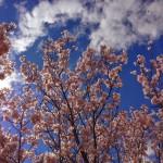Uzakdoğu, Zen ve Sakuralar
